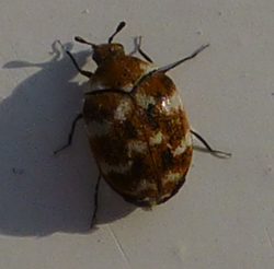 carpet beetle control in Leicestershire